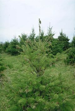 the bagworm is a serious pest of christmas trees nursery trees and yard plantings - Christmas Tree Nursery