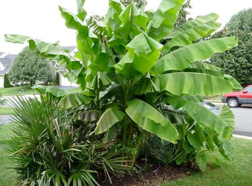 IMG_figure-5 Palm Type Plants Common House on palm names types, short palm trees types, office plant types, palm tree plant types, house cactus types, phoenix palm trees types, potted house plants types, indoor houseplants types, house ferns types,