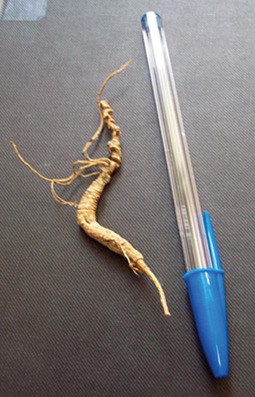 Growing American Ginseng (Panax quinquefolius) in