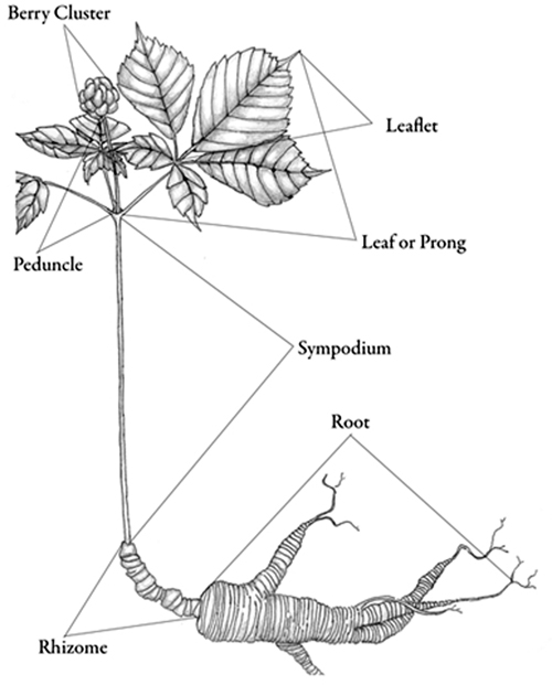 growing american ginseng panax quinquefolius in forestlands vce Labeled Parts of a Leaf ginseng plant diagram mcgraw n d