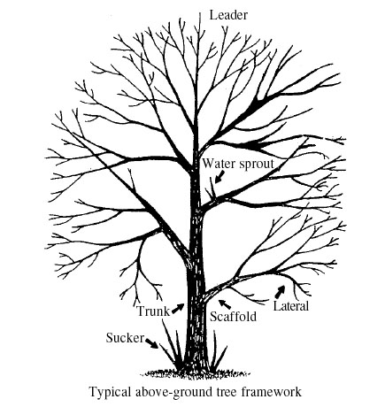 A Guide To Successful Pruning Pruning Deciduous Trees